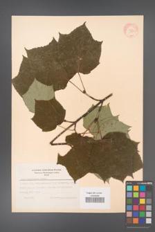 Acer tegmentosum [KOR 11499]