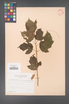 Acer ginnala [KOR 28130]