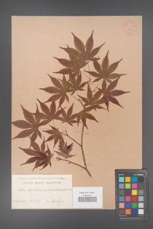 Acer palmatum [KOR 33524]