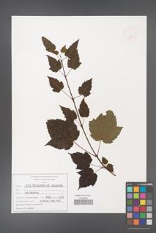 Acer pectinatum [KOR 47540]