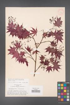 Acer palmatum [KOR 33482]