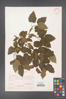 Acer tataricum [KOR 20937]