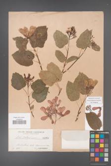 Acer tataricum [KOR 1364]