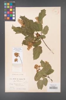 Acer tataricum [KOR 11512]
