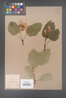 Acer tataricum [KOR 33645]