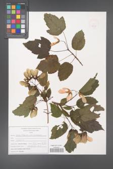 Acer tataricum [KOR 47533]