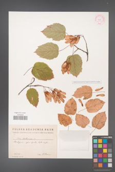 Acer tataricum [KOR 11509]