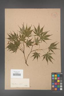 Acer [KOR 33660]