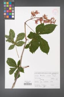 Aesculus ×carnea [KOR 465907]