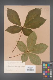Aesculus ×carnea [KOR 259]