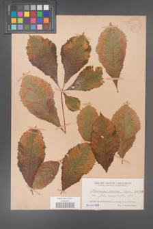 Aesculus carnea [KOR 260]