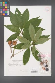Aesculus glabra [KOR 40456]