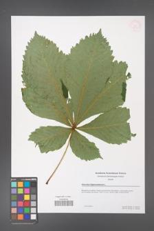 Aesculus hippocastanum [KOR 53959]