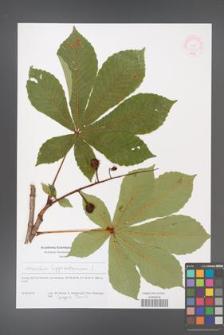 Aesculus hippocastanum [KOR 51226]