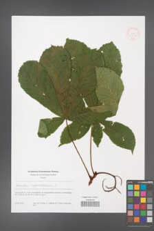 Aesculus hippocastanum [KOR 51219]