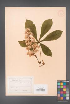 Aesculus hippocastanum [KOR 11551]