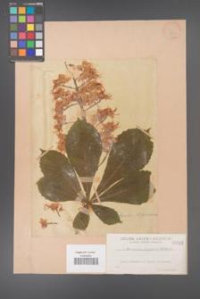 Aesculus hippocastanum [KOR 282]