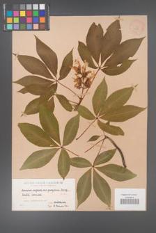 Aesculus neglecta [KOR 283]