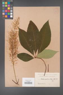 Aesculus parviflora [KOR 266]