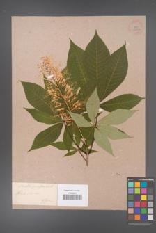 Aesculus parviflora [KOR 33697a]