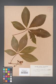 Aesculus pavia [KOR 252]