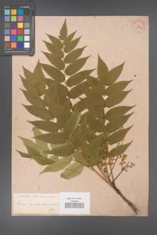 Ailanthus altissima [KOR 33704]