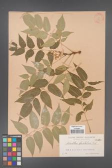 Ailanthus altissima [KOR 439]