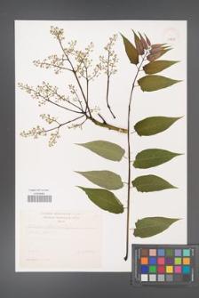 Ailanthus altissima [KOR 39200]