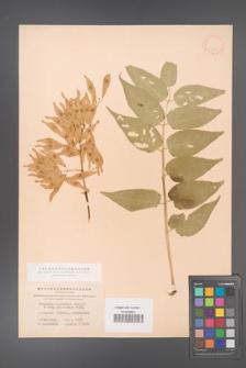 Ailanthus altissima [KOR 11555]