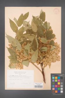 Ailanthus altissima [KOR 28200]