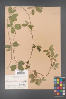 Akebia quinata [KOR 434]