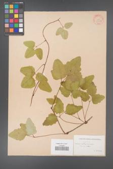 Akebia trifoliata [KOR 33707]