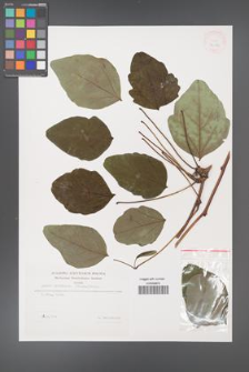 Akebia trifoliata [KOR 31180]