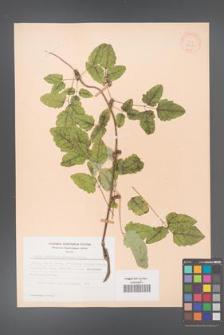 Akebia trifoliata [KOR 28202]