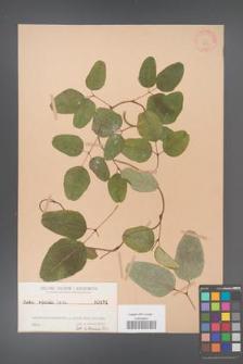 Akebia trifoliata [KOR 431]