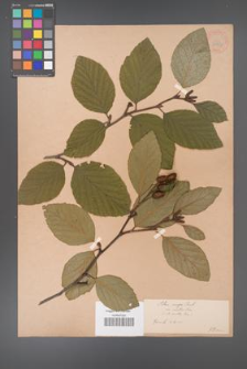 Alnus crispa [KOR 33716]