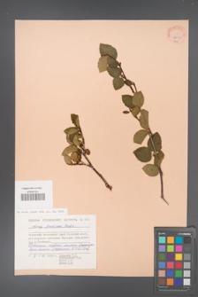 Alnus fruticosa [KOR 23223]