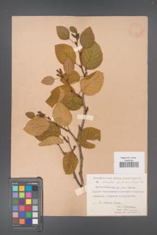 Alnaster fruticosus [KOR 11577]