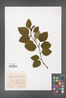 Alnus fruticosa [KOR 42918]