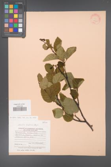Alnaster fruticosa [KOR 23203]