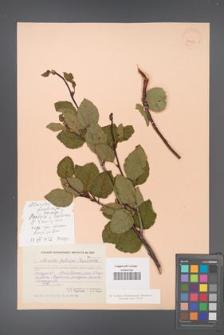 Alnaster fruticosa [KOR 24087]