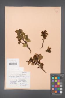 Alnaster fruticosa [KOR 24079]