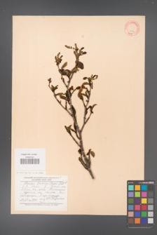 Alnus fruticosa [KOR 11576]