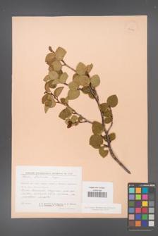 Alnus fruticosa [KOR 24086]