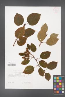 Alnus fruticosa [KOR 42555]