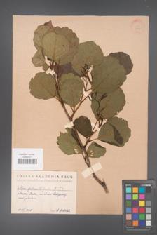 Alnus glutinosa [KOR 1474]