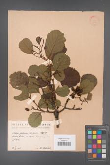 Alnus glutinosa [KOR 1486]