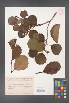 Alnus glutinosa [KOR 1492]
