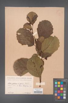 Alnus glutinosa [KOR 1475]