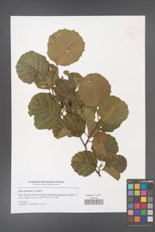 Alnus glutinosa [KOR 47950]